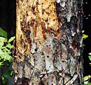 Indícios da saída do insecto do tronco do pinheiro
