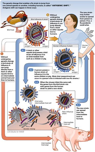 Cenário possível de permuta génica do vírus da Gripe A